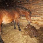 Кобыла родила