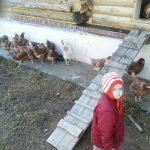 Курицы прогуливаются